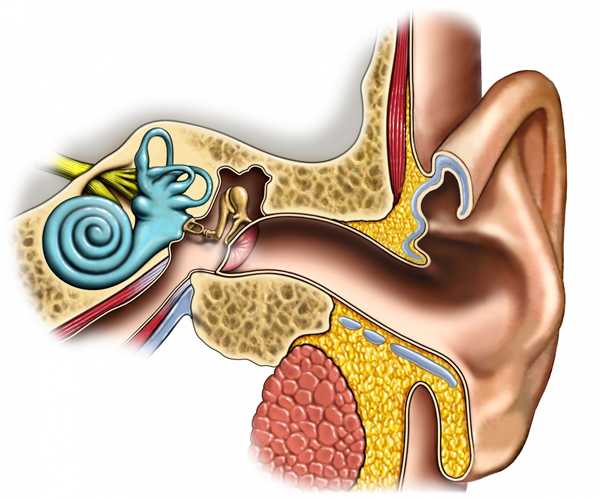 medical-illustration-anatomy-of-the-ear