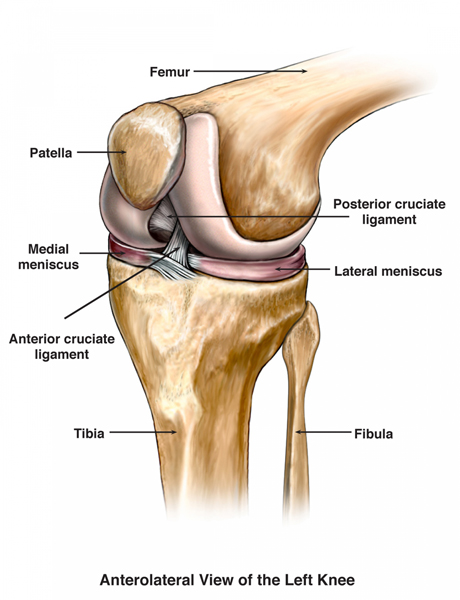 medical-illustration-anterolateral-view-of-the-left-knee