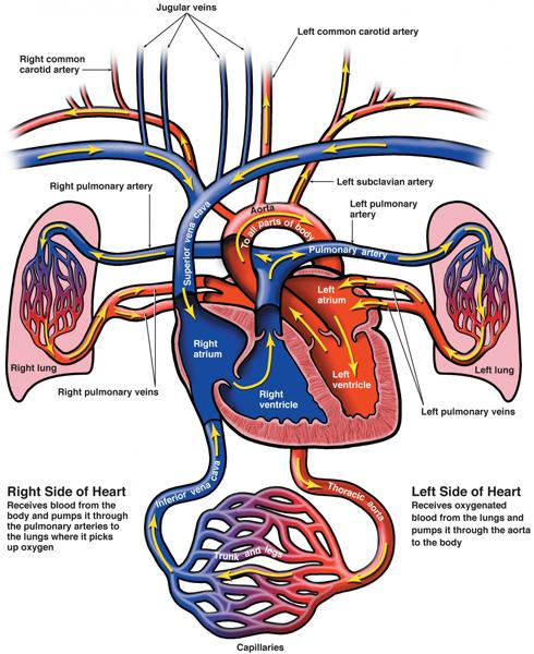 medical-illustration-heart